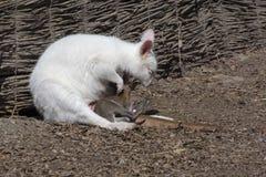 White red-necked wallaby (Macropus rufogriseus) stock photos