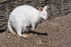 White red-necked wallaby (Macropus rufogriseus) royalty free stock photo