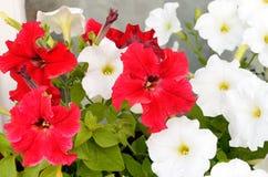 White and red petunias Stock Photo