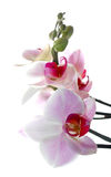 White and red phalaenopsis Royalty Free Stock Photo