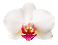 White with red   phalaenopsis closeup is isolated on white Stock Photography
