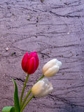 White and red/pink tulip blossoms on sand background Stock Photos