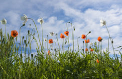 White and red poppies Royalty Free Stock Photos