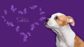 White-red puppy on a purple background with a heart royalty free stock photo