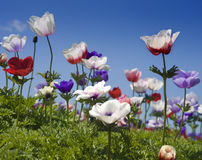 White red and purple flower field. White red and purple Poppy Anemone in the field Stock Photography