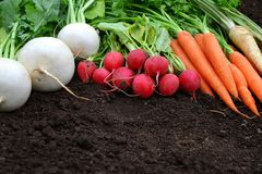 White and red radish,carrots and parsley on a soil. Royalty Free Stock Photo