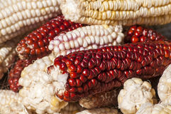 White and red raw corncobs Stock Images