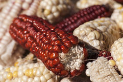 White and red raw corncobs Royalty Free Stock Photo