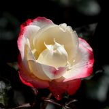 White-red rose Stock Photos