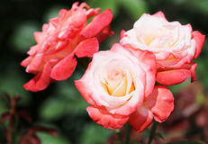 White-red rose flowers Royalty Free Stock Photos