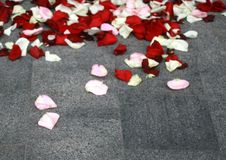 White and red rose petals on the asphalt. White and red rose petals on the asphalt royalty free stock photo