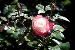 White and red rose on plant Stock Photo