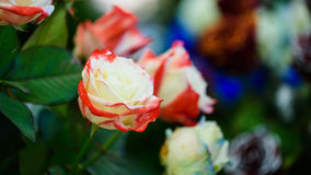 White and red rose, Two tone Royalty Free Stock Photos