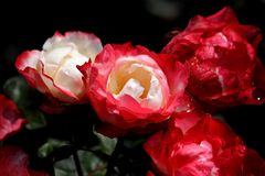 White-red roses Royalty Free Stock Image
