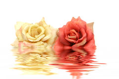 White and red roses Royalty Free Stock Image
