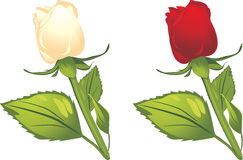 White and red roses. Illustration Royalty Free Stock Images