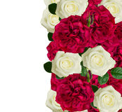 White and red roses border Stock Image