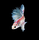 White and red siamese fighting fish, betta fish isolated on blac Royalty Free Stock Photos