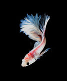 White and red siamese fighting fish, betta fish isolated on blac Stock Photo
