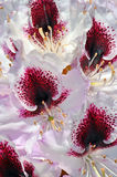White and red rhododendron flowers Royalty Free Stock Photos