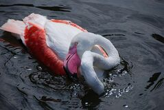 White and Red Swan on Body of Water Royalty Free Stock Photos