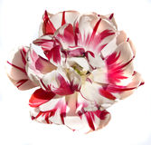 White-red tulip Stock Photos