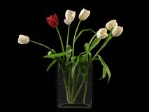 White and red tulip on black background . Stock Photography