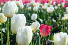 White and Red Tulip Closeup Stock Image