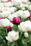 White and red tulip flower Royalty Free Stock Images