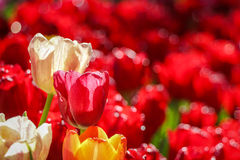 White and Red tulip flowers field Stock Photo