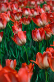 White-red tulip flowers. Stock Photography