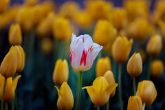 White & Red Tulip. With yellow tulips in the background Royalty Free Stock Photography
