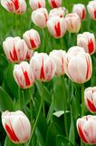 White and red tulips stock image