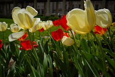 White and red tulips in back light. In the garden Royalty Free Stock Images
