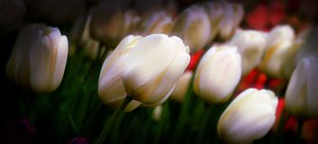 White and Red Tulips Bending towards Sun Stock Photo