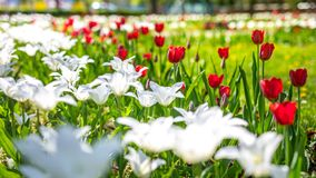 Red and white tulips on blurred green meadow background, springtime concept. Nature and flowers stock photos