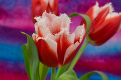 White and red  tulips on the bright background. The tulip is a Eurasian and North African genus of perennial, bulbous plants in the lily family Royalty Free Stock Photography