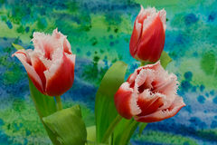 White and red  tulips on the bright background. The tulip is a Eurasian and North African genus of perennial, bulbous plants in the lily family Stock Image