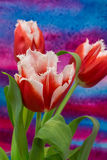 White and red  tulips on the bright background. The tulip is a Eurasian and North African genus of perennial, bulbous plants in the lily family Royalty Free Stock Photos