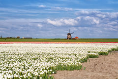 White, red tulips and Dutch windmill Stock Photo