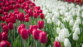 White and red tulips stock video