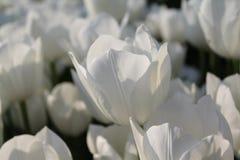 Wihite red tulips. White red tulips macro close up royalty free stock image