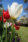 White and red tulips in spring close-up vertical shot Royalty Free Stock Image