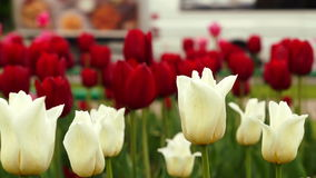 White and red tulips and traffic on background. Morning shot of the white and red tulips swaying in the wind and growing near a busy street in Moscow stock footage