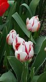 White Red Tulips. Variegated tulip. White and Red stock image