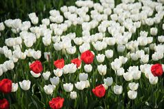 White and red tulips. On a flower bed in the spring garden royalty free stock photography