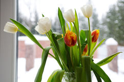 White and red tulips on the window Royalty Free Stock Photos