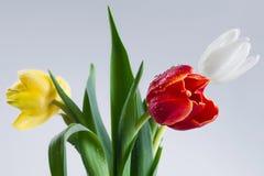 White Red Yellow Tulip Stock Image