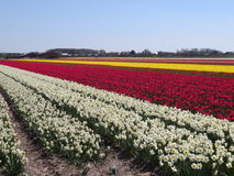 White, red and yellow tulips on field in Holland Stock Photos