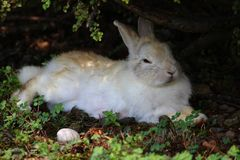 White and reddish rabbit resting in the shade of a bush stock image